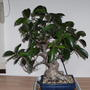 Bonsai  (Ficus)