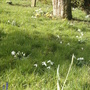 Snow Drops (Galanthus nivalis (Common snowdrop))
