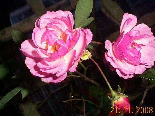 ROSES - 21st November!