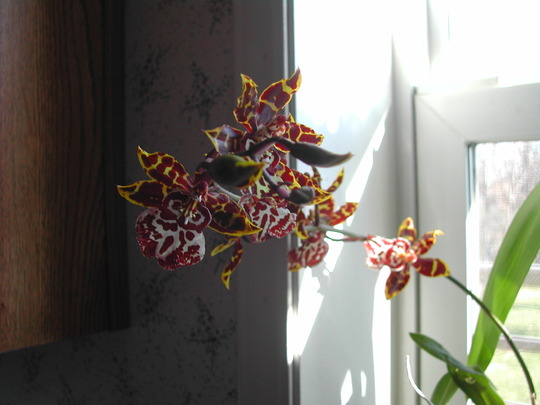 My Kitchen Window Orchid