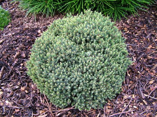 Picea glauca 'Blue Planet' (common name; White spruce)