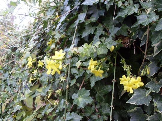 winter jasmine and ivy