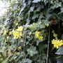 winter jasmine and ivy