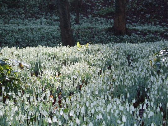 The snowdrop Grove