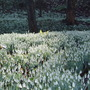 The snowdrop Grove