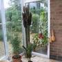 Euphorbia hermentiana