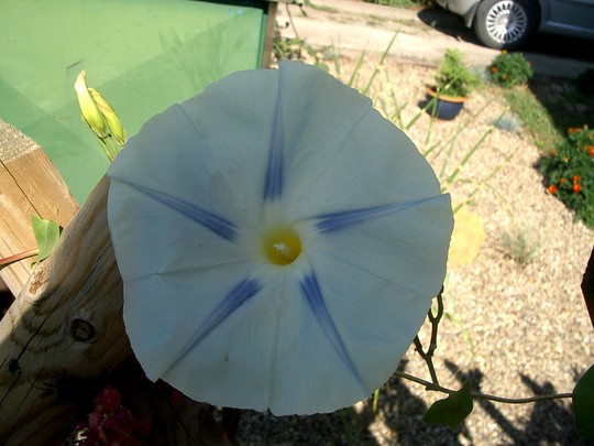 IMGP4229.jpg (Ipomoea purpurea (Morning glory))