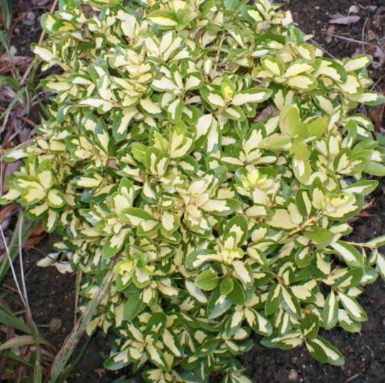 Euonymus  (Euonymus fortunei)