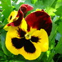 Another Pansy (Pansy)