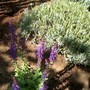 IMGP4258.jpg (Salvia superba (Salvia))