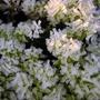 Frosty moss.