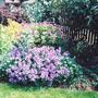 Hardy Geranium (Hardy Geranium)