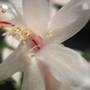 Closeup of white Schlumbergera
