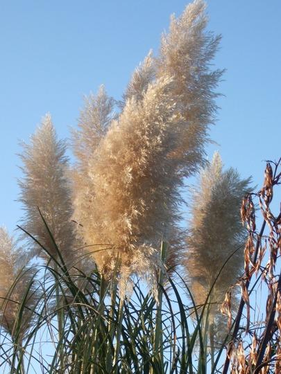 Pampas grass in the sun (Cortaderia selloana (read more here))