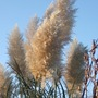 Pampas grass in the sun (Cortaderia selloana (read more here))