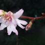 Prunus subhirtella autumnalis 'Rosea' (Prunus subhirtella)