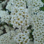 Bridal wreath (Spiraea prunifolia (Bridalwreath Spiraea))