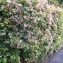Abelia_grandiflora2
