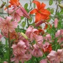 lilies and lunaria