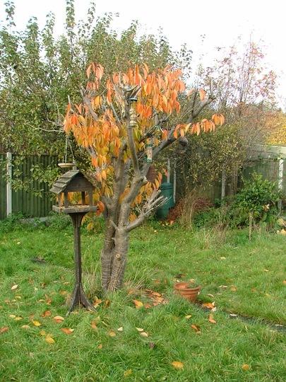 Autumn cherry tree (Prunus cerasus (Cherry))
