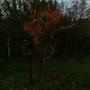 Autumn cherry tree 3