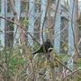 Black bird in the Elderberry