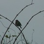 Chaffinch in the Elderberry