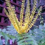 Side view (Mahonia japonica (Mahonia))
