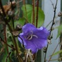 Campanula Flower hanging on despite the cold!