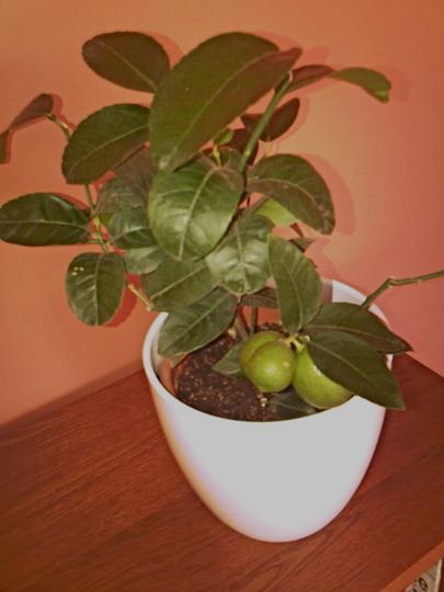 Lemon Tree Citronnieer La Valette (Citrus La Valette)