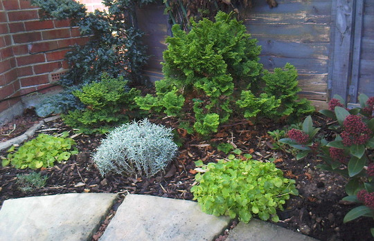 Another view of the front garden. (Skimmia japonica (Skimmia))