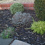 And yet another front garden view. (Buxus microphylla (Littleleaf Box))