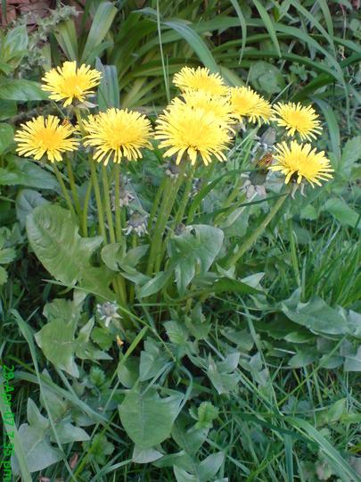 Healthy Bugger (Taraxacum officinale (Dandelion))