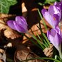 Crocus by the canal