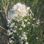 Desert Broom bloom (Baccharis sarothroides)