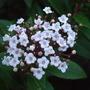 Viburnum tinus blossom