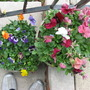My pansies and my feet (Pansy)