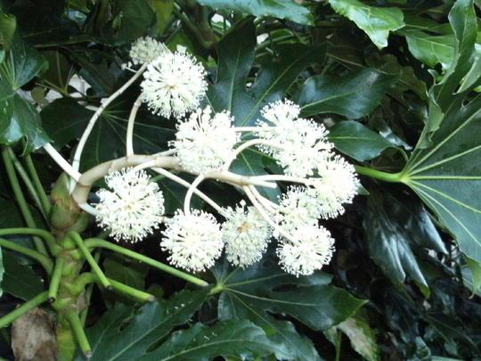 Fatsia    F.japonica