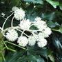 Fatsia_f.japonica