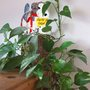 Devil's ivy or (epipremnum aureum)