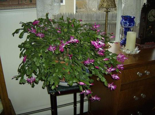 "Christmas cactus -  'Jolly Dance""r"