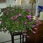 """Christmas cactus -  'Jolly Dance""""r"""