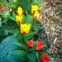 Spring bulbs (Tulipa botanica Praestans)