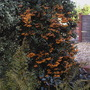 Pyracantha (Pyracantha angustifolia (Fire Thorn))