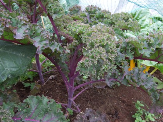 first year kale
