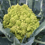 Romanesco