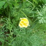 Californian Poppy (Eschscholzia californica (California poppy))