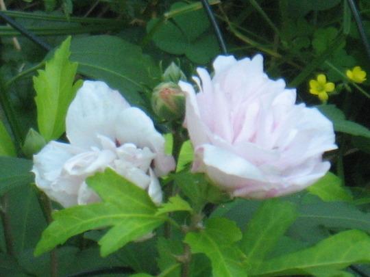 Rose of Sharon (Hypericum calycinum (Rose of Sharon))
