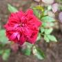 Miniture Red Rose