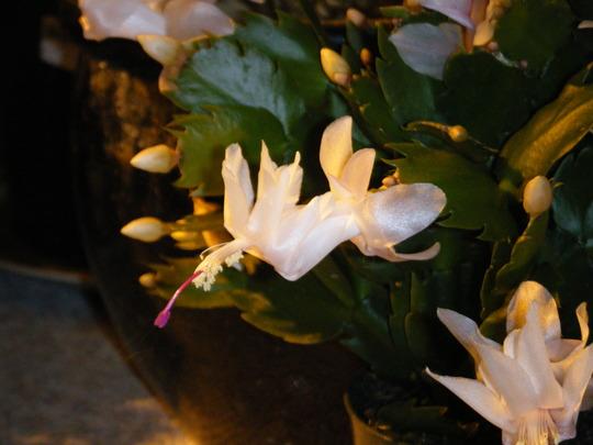 White Schlumbergera